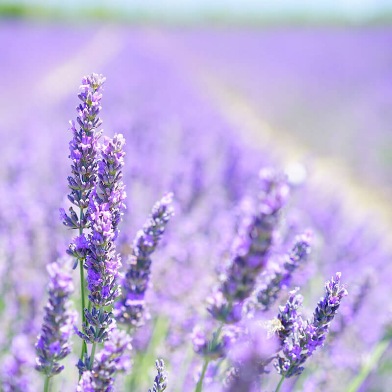 Lavender Essential Oil Uses: 5 Healing Benefits You Need to Know!