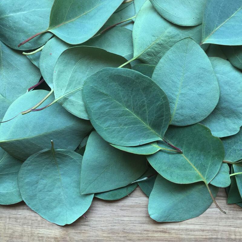8 Unique Eucalyptus Essential Oil Uses