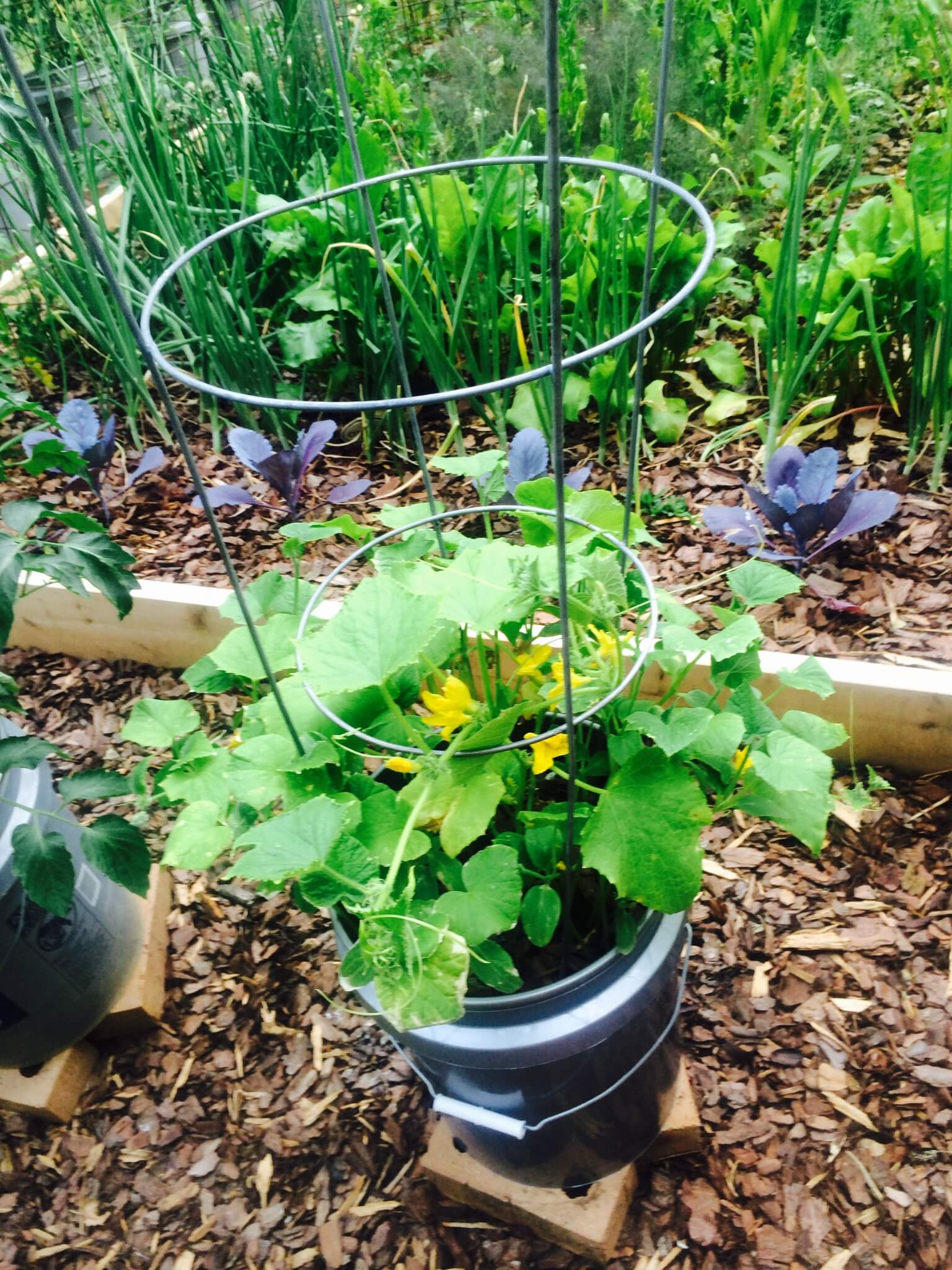 Early summer garden update container gardening - Gallon bucket garden container ...