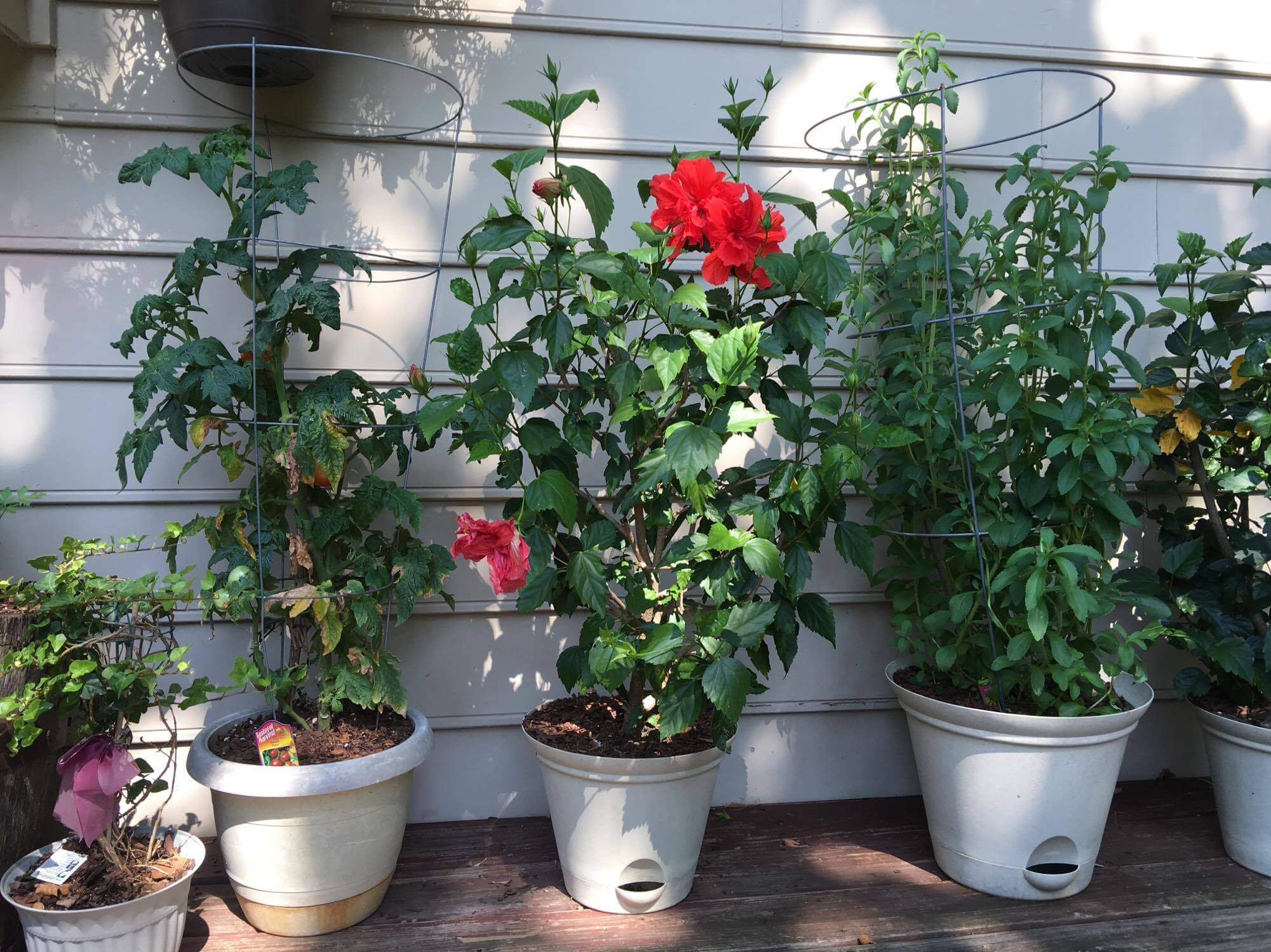 Left to Right - Tomoto, Red Hibiscus and Stevia