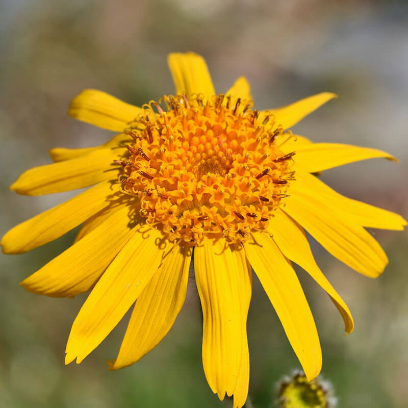 Arnica Oil Uses & Benefits: Soothe, Heal & Restore