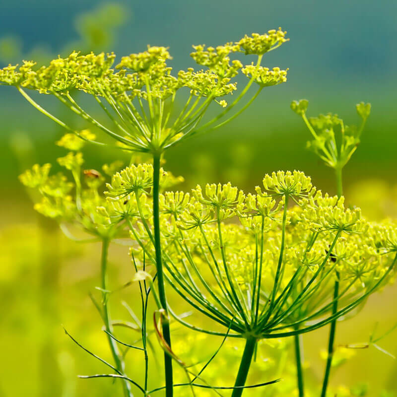 Fennel Essential Oil Uses: Anxiety, Cramps & Indigestion