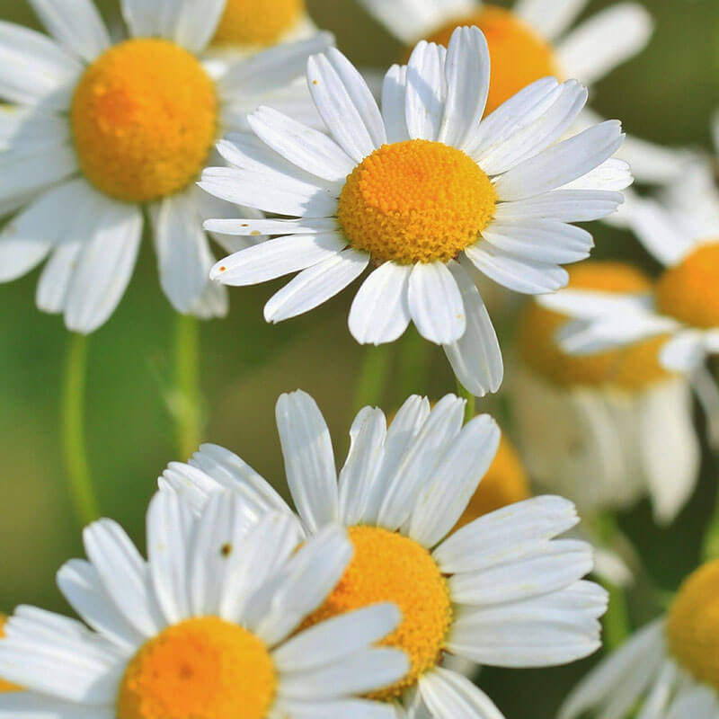 Uses for Roman Chamomile Essential Oil: Reduce Stress & More