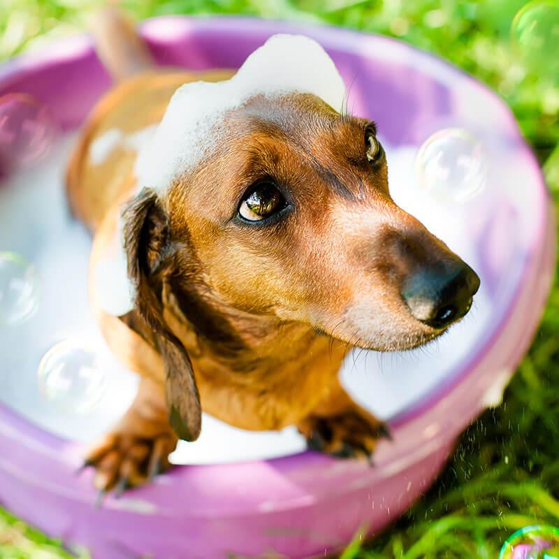 DIY Dog Shampoo with Essential Oils for Dogs