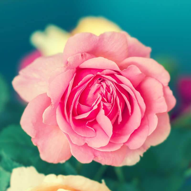 Rose Essential Oil Benefits: 3 Healing Uses