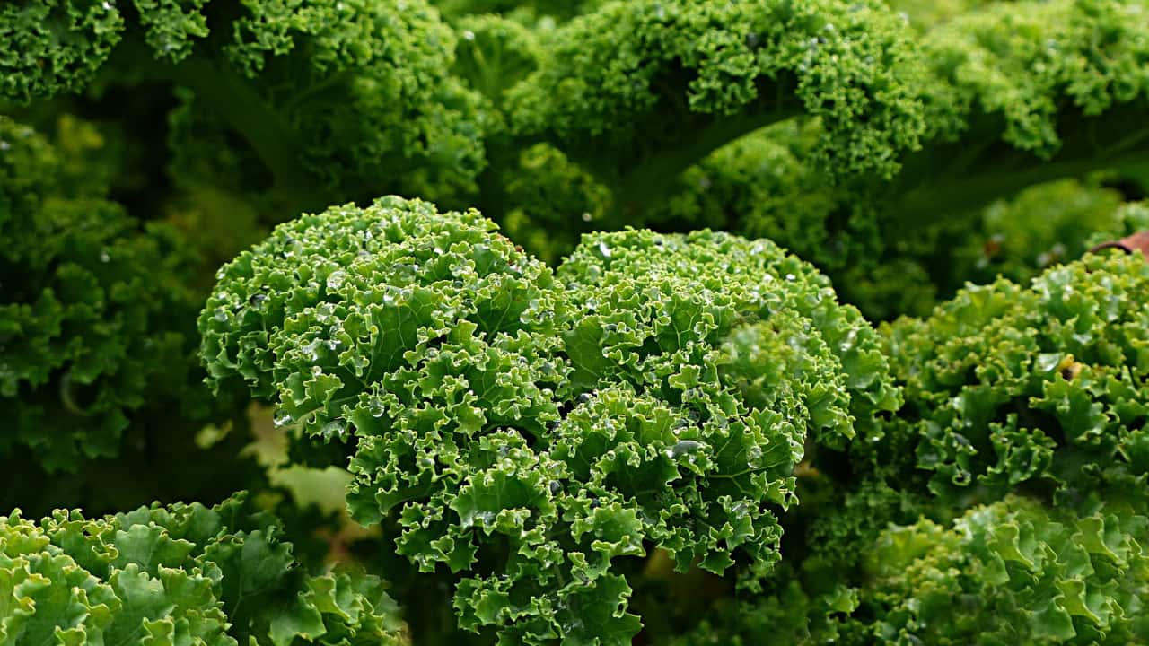 Health Benefits of Kale and What You Need to Know!