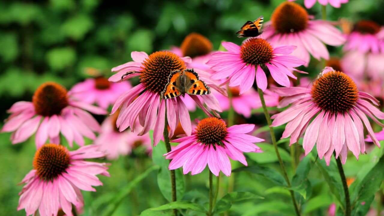 9 Ways Echinacea Benefits Your Physical & Mental Health