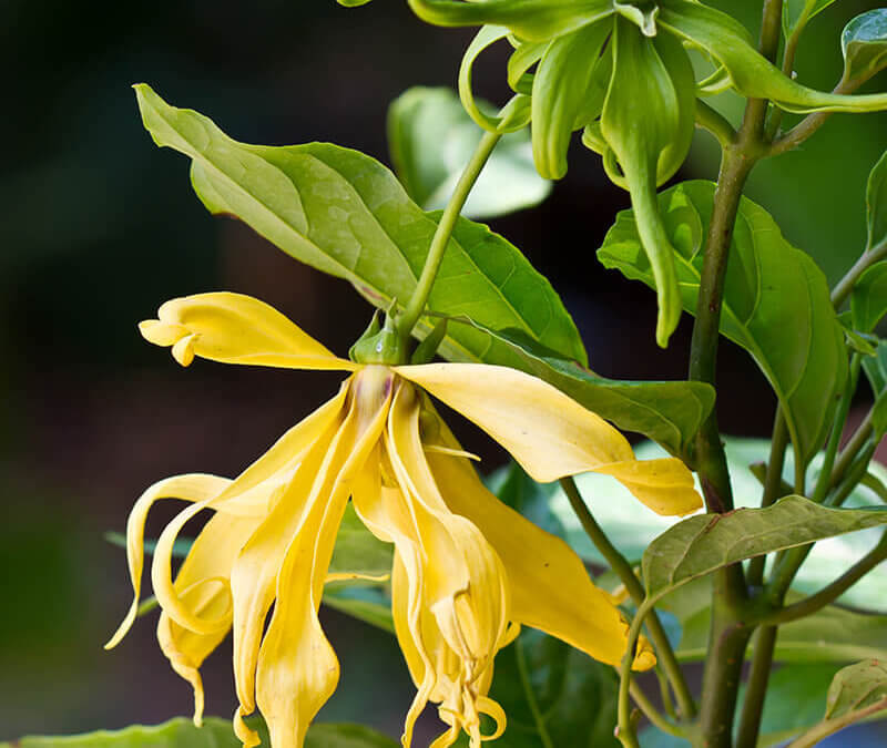 7 Ylang Ylang Essential Oil Uses for Anxiety and More